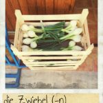Zwiebel, die. Frische Zwiebeln, frisches Gemüse